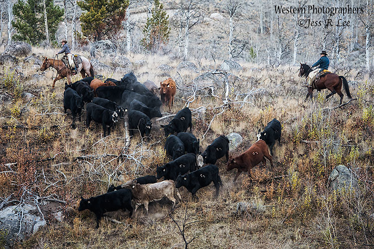 A photo of cows being gathered by wranglers. Cowboy Photos, riding,roping,horseback
