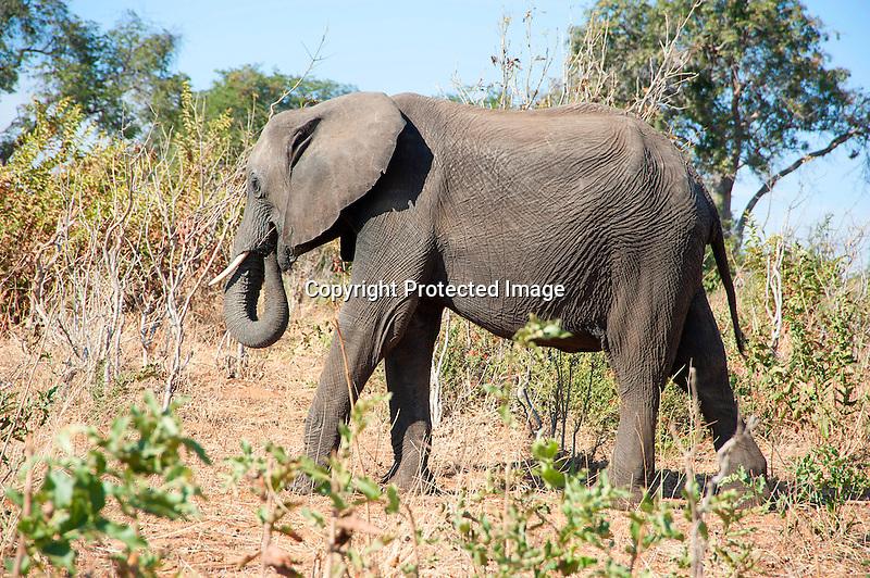 Elephant Snacking in the Bush of Chobe National Park in Botswana in Africa