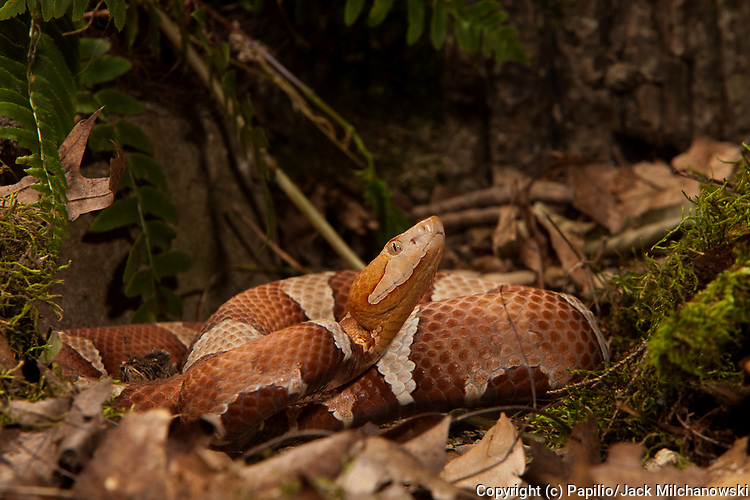 Broad-banded Copperhead (Agkistrodon contortrix laticinctus).Captive