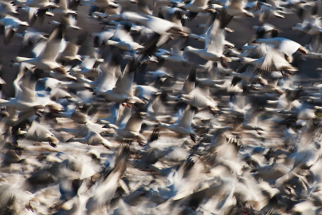 Snow geese (Chen caerulescens) taking flight