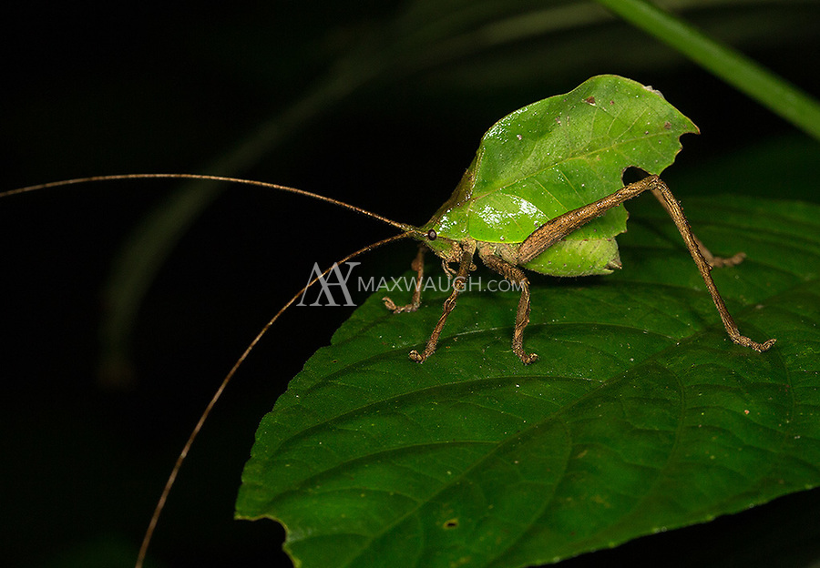 Large leaf-like katydids are common in the jungle.