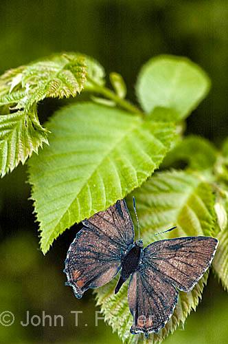 Frosted Elfin butterfly, Callophrys irus, extirpated