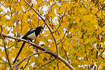 Yellow-billed Magpie (Pica nutalli), Del Valle Regional Park, California
