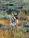 Pronghorn Antelope (Female) in field Grand Teton National Park Wyoming USA
