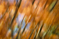 Japanese maple tree in fall color blurred in the wind. Oregon