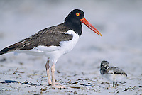 American Oystercatcher, with chick, Stone Harbor, New Jersey