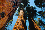 Giant Sequoia Trees Sequoiadendron giganteum, Congress Trail, Giant Forest, Sequoia NP, California