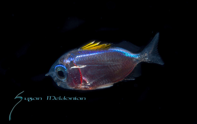 Squirrelfish larva ,Holocentrus rufus, Plankton; larval fish; pelagic larval marine life, Atlantic Ocean, Gulf Stream Current off SE Florida