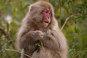 Japanese snow monkeys, or Japanese macaques, grooming and foraging near Yudanaka, Nagano.