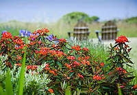 Orange flowering Euphorbia griffithii 'Fireglow' in drought tolerant perennial border in California coastal garden overlooking Pacific Ocean; Moss Garden