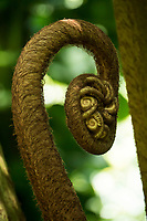 A close-up of a slowly unfurling hapu'u fern at Hawaii Tropical Botanical Garden near Onomea Bay in Papa'ikou near Hilo, Big Island of Hawai'i.