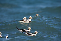 DIGITAL COMPOSITE: Long-tailed ducks, Kachemak Bay, Homer, Alaska.