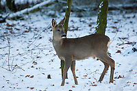 Europäisches Reh, Rehwild, Reh-Wild, Bock, Rehbock, Männchen, Geweih wächst gerade nach, Capreolus capreolus, roe deer