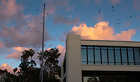 Crows fly above Occidental College's Arthur G. Coons Administrative Center (AGC) and Fowler Hall on Feb. 5, 2019.<br />
