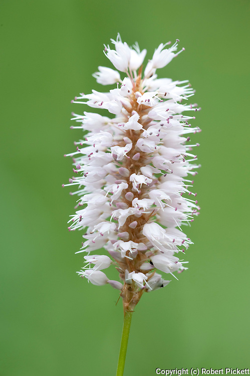 Bistort, Persicaria bistorta, Romania, white flowering head, Meadows and clearings outside Sinaia