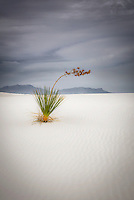 Yucca on the dunes at White Sands National Monument in New Mexico's Tularosa Basin