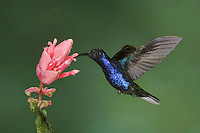 Violet Sabrewing, Campylopterus hemileucurus, male in flight feeding on Shrimp plant(Acanthaceae), Central Valley, Costa Rica, Central America