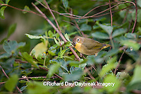 01490-003.02 Common Yellowthroat (Geothlypis trichas) female in Compact Fragrant Sumac (Rhus aromatica) Marion Co.  IL