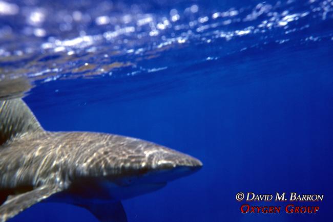 Oceanic White-tipped Shark