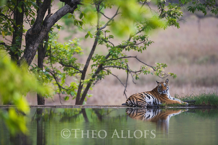Bengal tiger (Panthera tigris) lying on dam wall; the water nearby helps to cool off during the heat of the afternoon, dry season, April