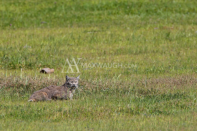 A bobcat rests in a field in Central California.