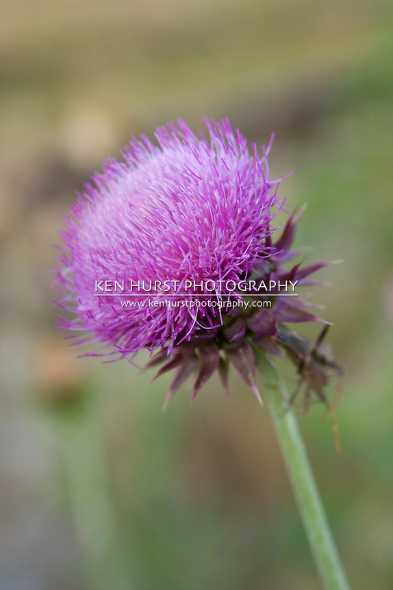 Wild musk thistle weed in it's purple flowering stage.