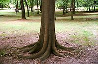 Cinisello Balsamo (Milano), Parco di Villa Ghirlanda. Radici --- Cinisello Balsamo (Milan), Park of Villa Ghirlanda. Roots