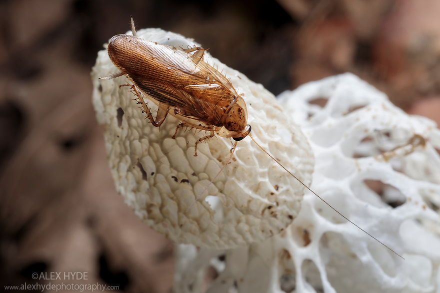 Cockroach feeding on Bridal Veil Stinkhorn (Phallus indusiatus), growing on rainforest floor. The fungal fruiting body gives off a pungent odour that attracts a wide range of invertebrates, which help disperse the spores. Manu Biosphere Reserve, Amazonia, Peru. November.