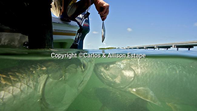 Feeding Tarpon, Islamorada, Florida