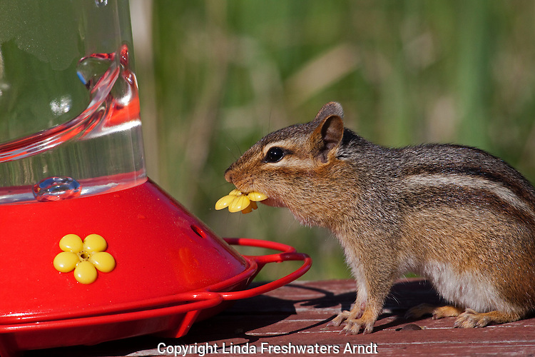 Eastern chipmunk attempting to get at the sugar water
