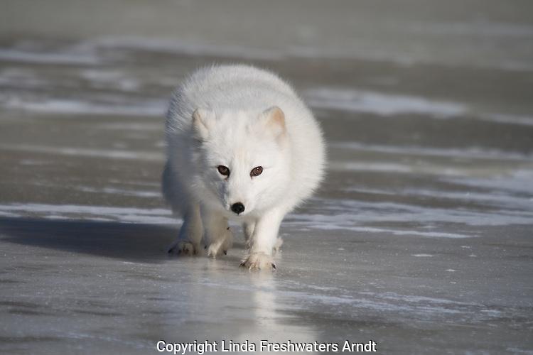 Arctic fox (Alopex lagopus) walking on the ice