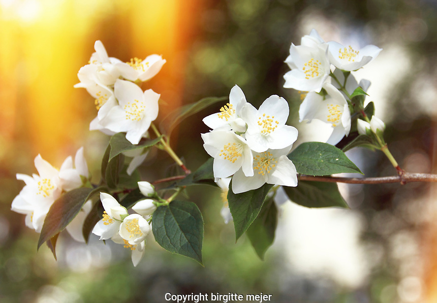Branch on an apple blossom tree, full of white flowers. With yellow golden backdrop.