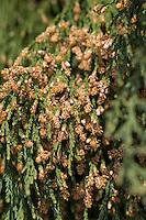 Mammutbaum, Riesen-Mammutbaum, Riesenmammutbaum, Berg-Mammutbaum, Wellingtonie, Sequoiadendron giganteum, Wellingtonia giganteum, giant sequoia, giant redwood, Sierra redwood, Sierran redwood, Wellingtonia, Le Séquoia géant
