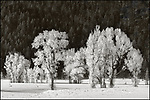 Grand Teton National Park, Wyoming:<br /> Frosted cottonwood trees at Antelope Flat