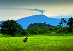Water buffalo stands in a rice field in the moist lowland forests of Puerto Viejo de Sarapiqui in the northeast section of Costa Rica.  The smoking Turrialba Volcano makes for a dramatic backdrop.