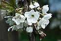 Blossom of sweet cherry 'Sweetheart', late April.