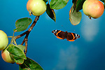 Red Admiral Butterfly, Vanessa atalanta, in flight through apple tree branches, flying, wings high speed photographic  flash technique.United Kingdom....