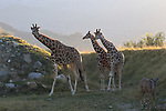 3 giraffes and greater kudu at the Living Desert