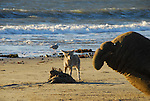 Coyote eating dead seal and watching elephant seal bull