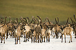 A herd of caribou bulls rests on a large patch of aufeis along the Kongakut River.