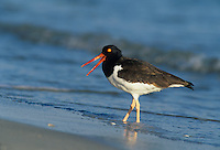 American Oystercatcher, Haematopus palliatus, adult calling, Fort De Soto State Park, Florida, USA