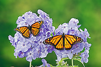 Monarch (r.) (Danaus plexippus) & Viceroy (Limenitis archippus) butterflies on garden phlox (Phlox paniculata) flowers, summer, North America.  Viceroy is Mullerian mimic: looks like Monarch & both distasteful to predators.