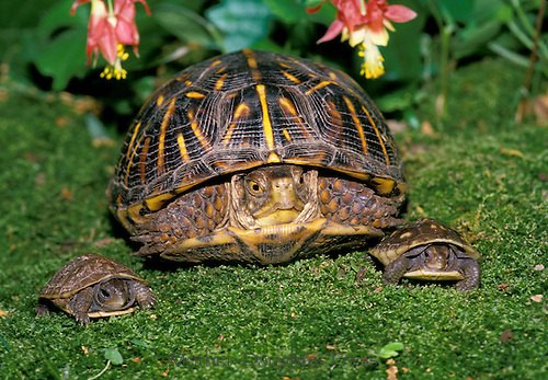 """family"" portrait, Adult ornate Box Turtle poses with 2 baby 3 Toed Box Turtles on mossy garden under Columbine flowers"
