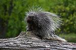 Porcupine (Erethizon dorsatum) on a log.  Spring.  Minnesota.