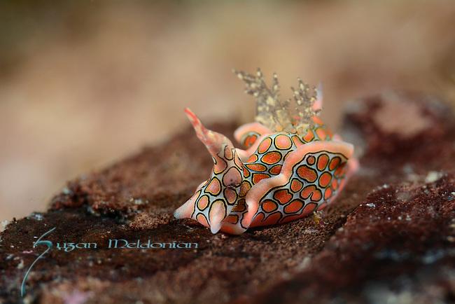Psychedlic Batwing Slug , Sagaminopteron psychedlicum, Anilao 2015, by mandarin Dive in from of Aiyanar Hotel