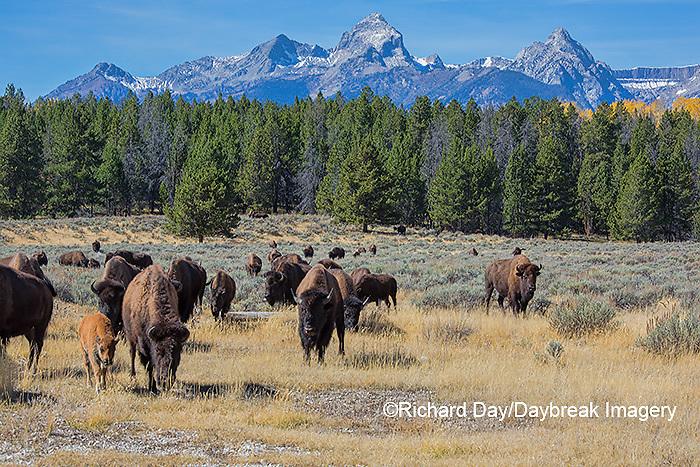 01985-02717 Bison (Bison bison) Grand Teton National Park, WY