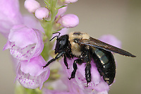 "Carpenter Bee in a ""daze"" after a sudden drop in temperatures."