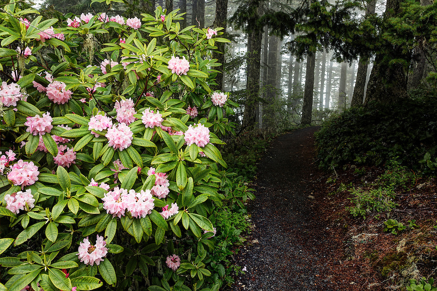 Pacific rhododendron blooming beside forest trail atop Mount Walker, Quilcene, Jefferson County, Washington, USA