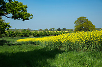 Field margin aside oil seed rape field - Norfolk, May