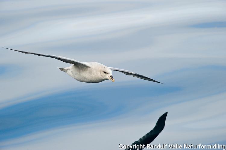 Havhest (Fulmarus glacialis) ---- Northern Fulmar (Fulmarus glacialis)